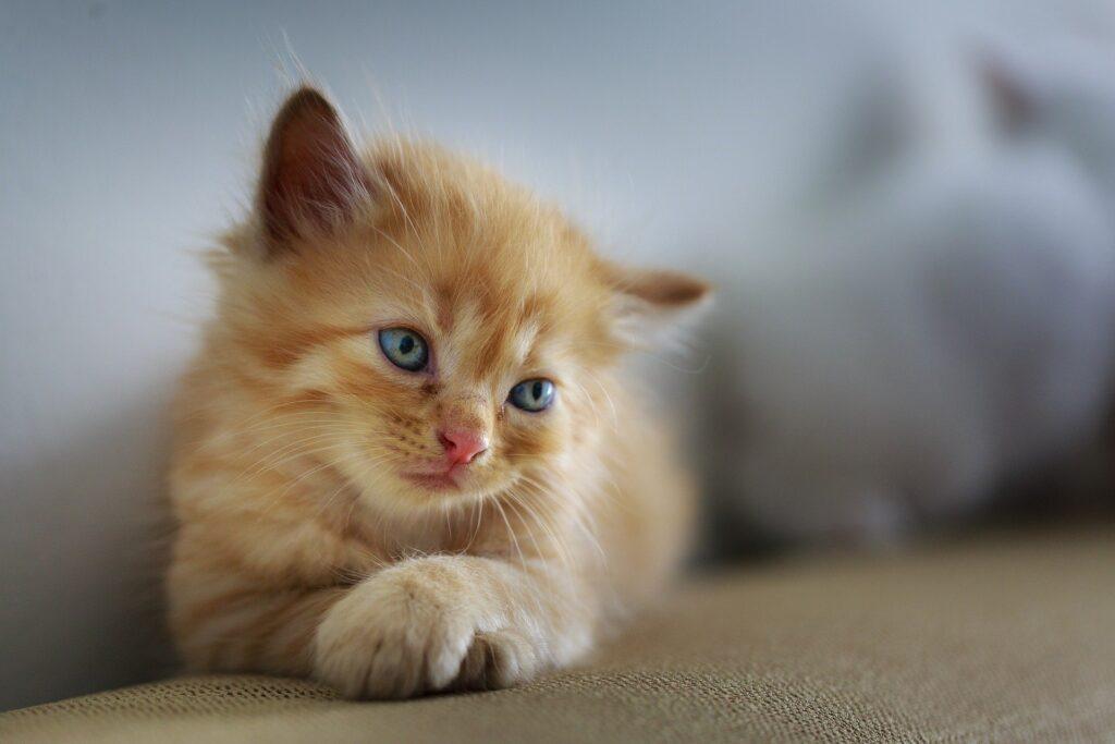 meowtalk,app,gato,traducir